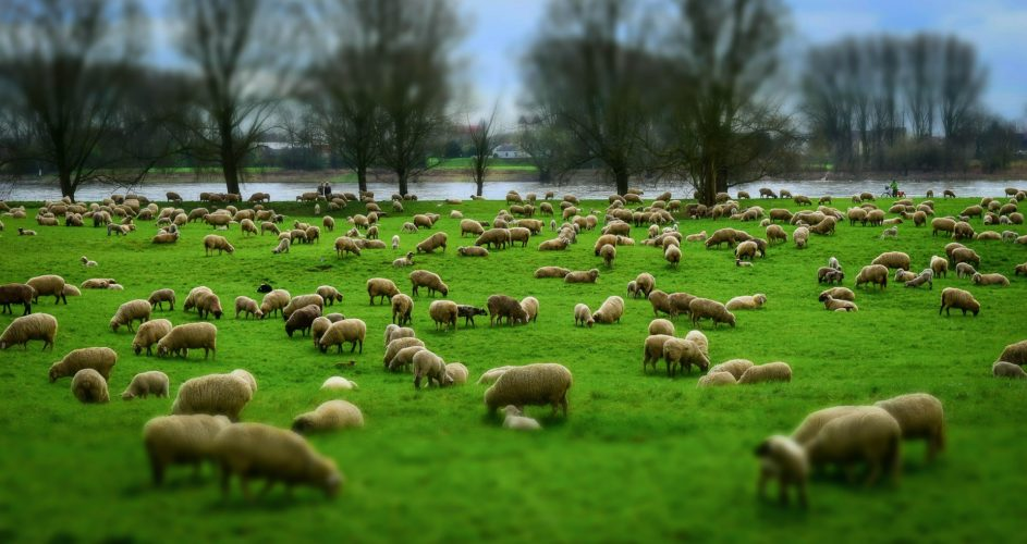Las explotaciones ganaderas se garantizan la adquisición de sus corderos.